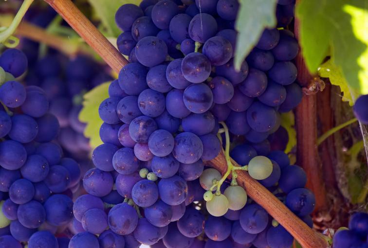 Grappe de Raisins Vin